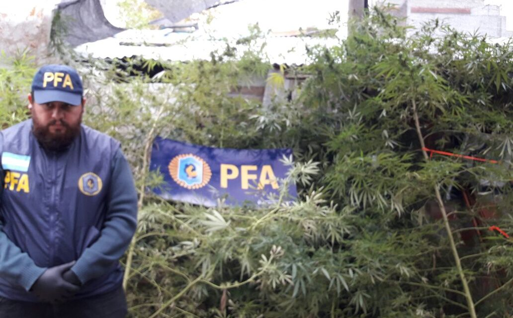 LANUS, POLICÍA FEDERAL  DECOMISÓ UN VIVERO DE MARIHUANA